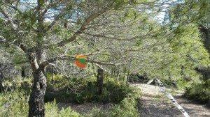 Extraño fruto verde y naranja colgado de un pino