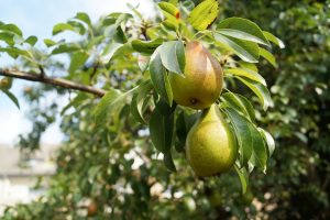 pears-1639117_960_720